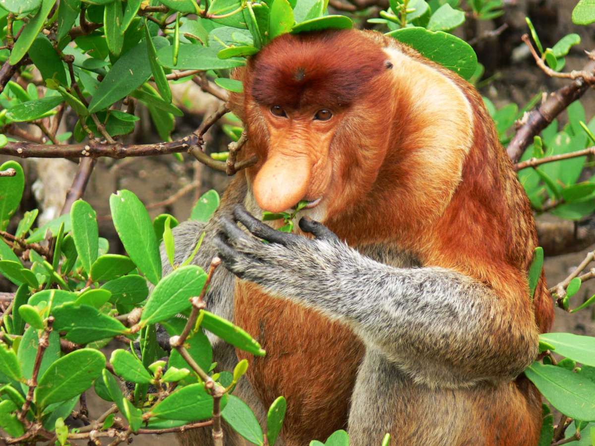 A male proboscis monkey eating mangrove leaves near the boardwalk at Telok Assam, Bako National Park, Sarawak, Malaysia