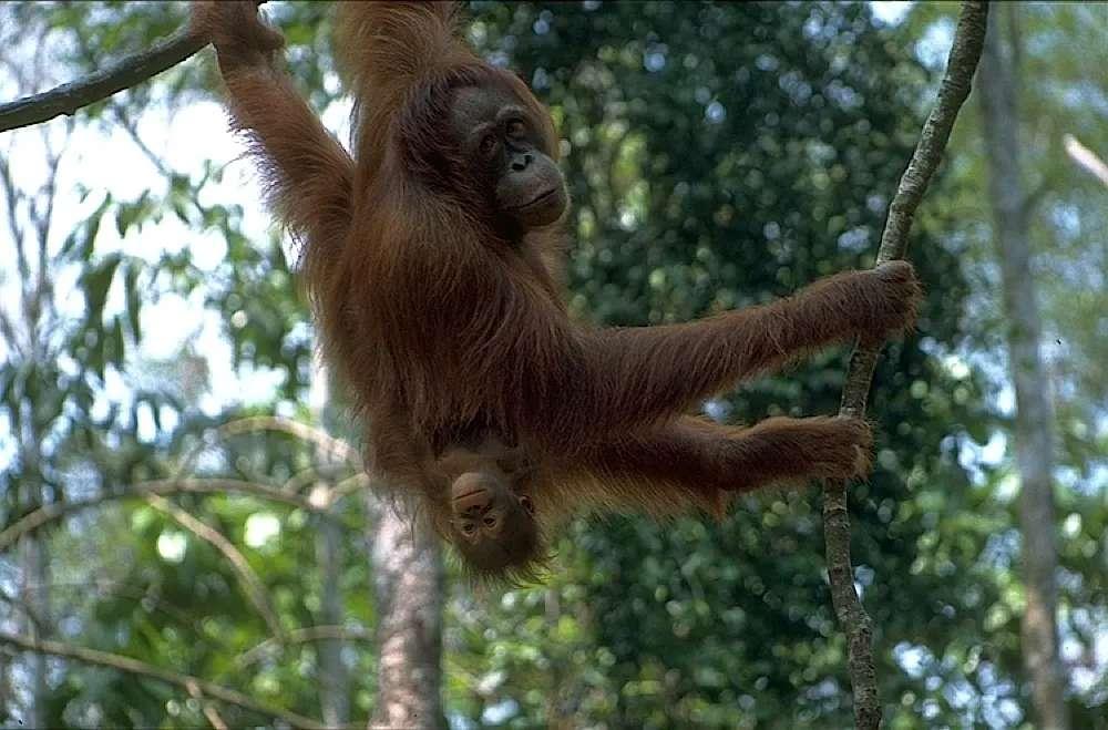 Orangutans at Semenggoh Wildlife Centre, Sarawak, Malaysia.