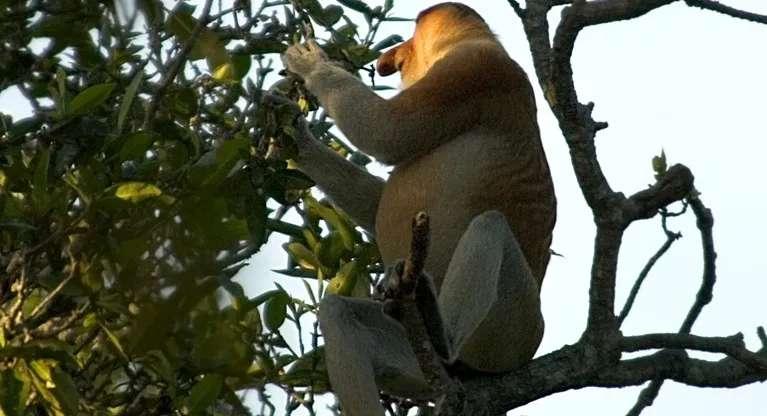 Proboscis monkey, Brunei.