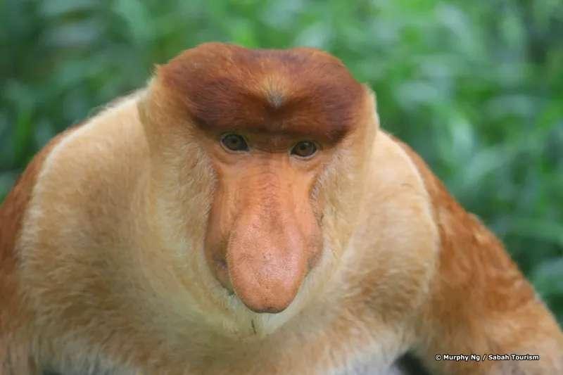 Proboscis Monkey, Kinabatangan River, Sabah, Malaysia.