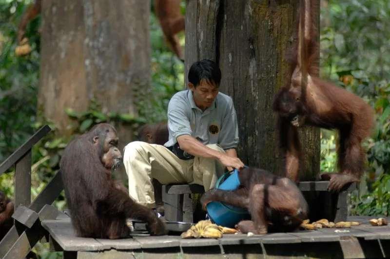 Park ranger feeding orang utans at Sepilok Orang Utan Rehabilitation Centre, Sabah, Malaysia.