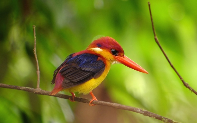 A black backed kingfisher at Tabin Wildlife Reserve, Sabah, Malaysia