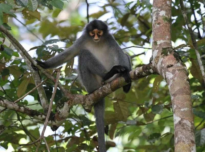 Grey Leaf monkey at Tabin Wildlife Reserve, Sabah, Malaysia