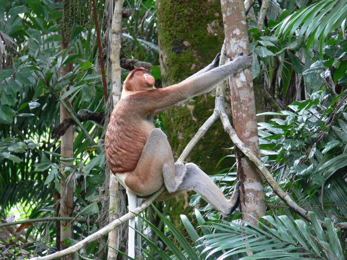 A male proboscis monkey climbing a tree near Telok Assam, Bako National Park, Sarawak, Malaysia