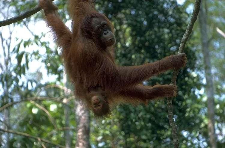 Orangutans at Semenggoh Wildlife Centre, Sarawak, Malaysia