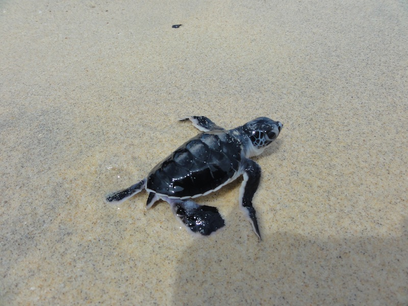 A baby green turtle makes its way across the sand to the sea at Pulau Talang Besar, in Sarawak, Malaysia.