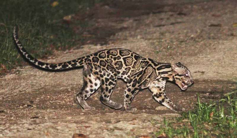 Clouded Leopard at Tabin Wildlife Reserve, Sabah, Malaysia