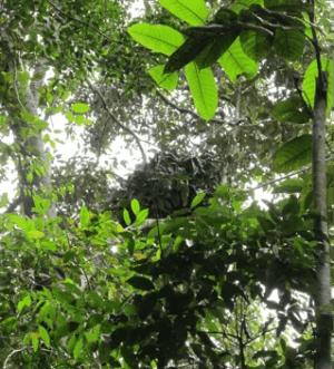 Orangutan nest seen during recent survey at Ulu Menyang, Sarawak