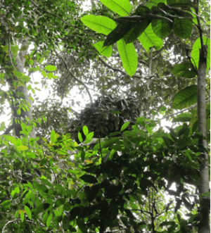 Orangutan nest seen during recent survey at Ulu Menyang, Sarawak