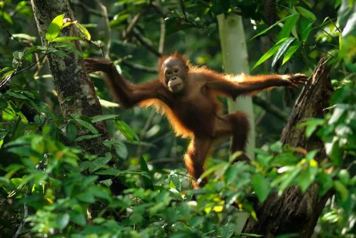 200 orangutan found living outside Batang Ai National Park