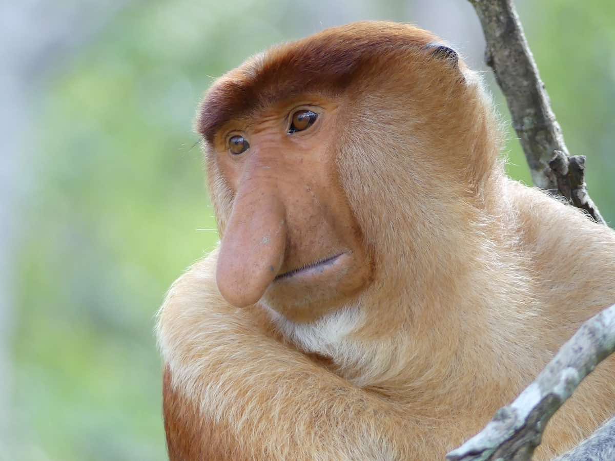 Labuk Bay Proboscis Monkey Sanctuary
