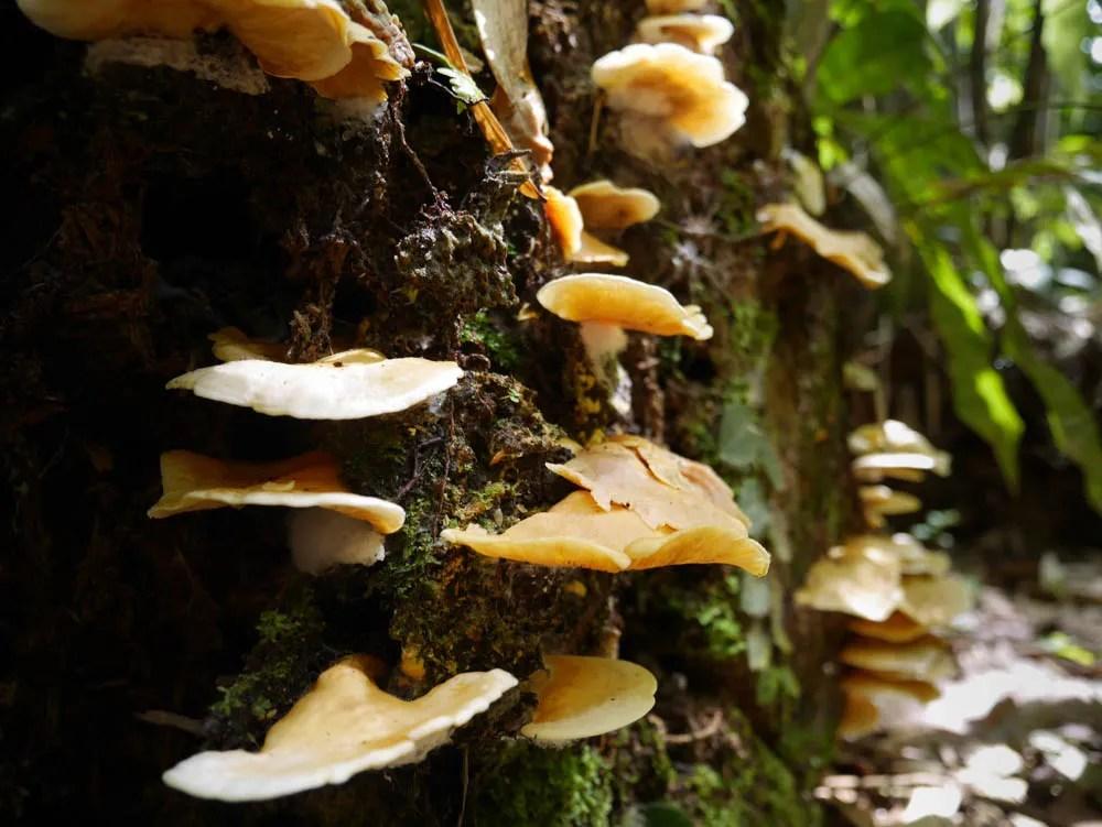 Borneo Fungi