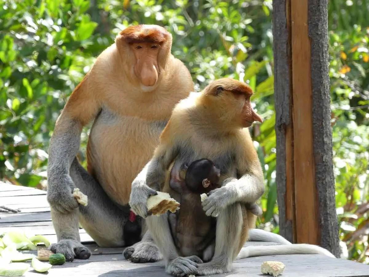 proboscis monkey, labuk bay