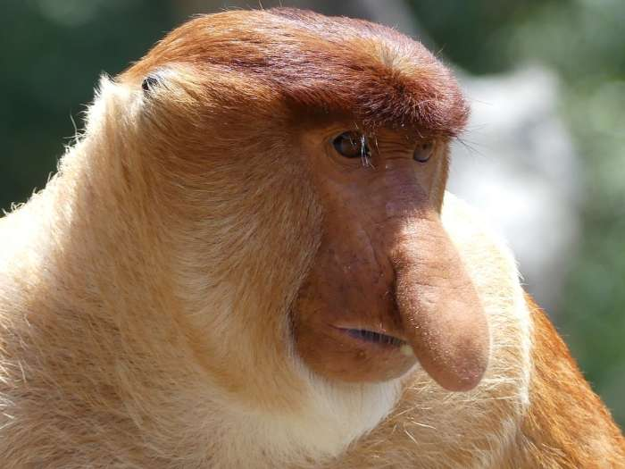 Proboscis Monkey – Facts, Photos & Video