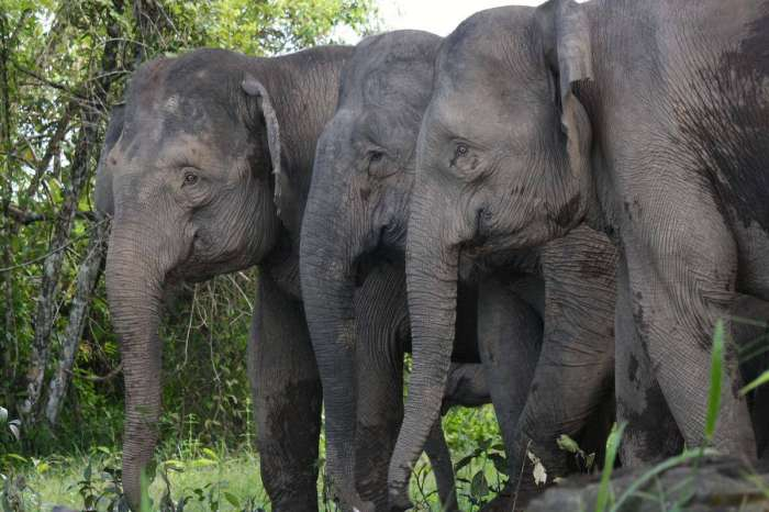 4 Best Places to See Pygmy Elephants in Borneo