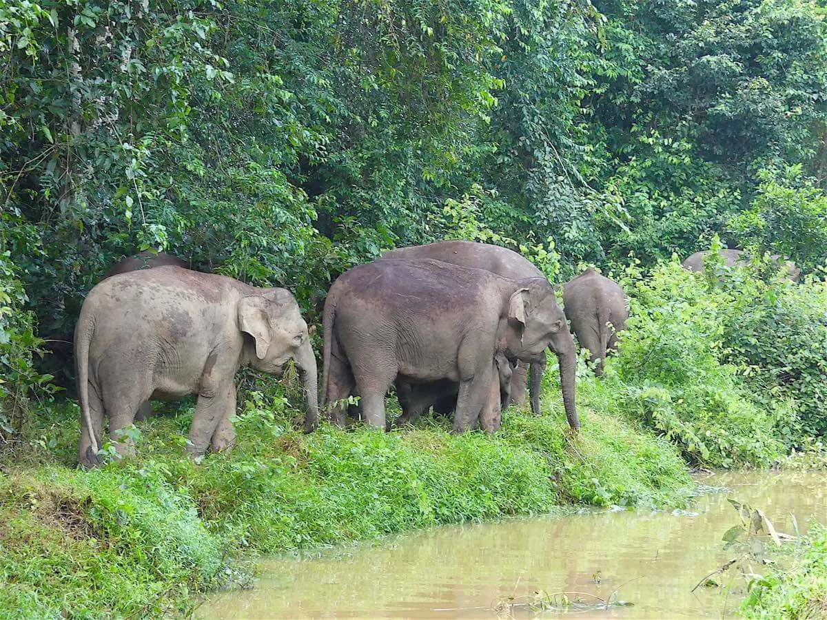 her of borneo pygmy elephants
