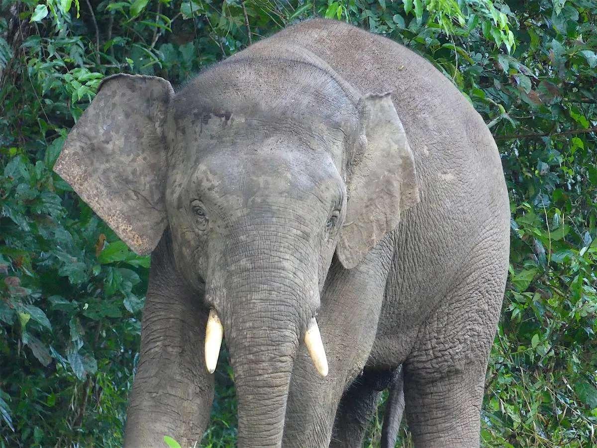 pygmy elephant sabah