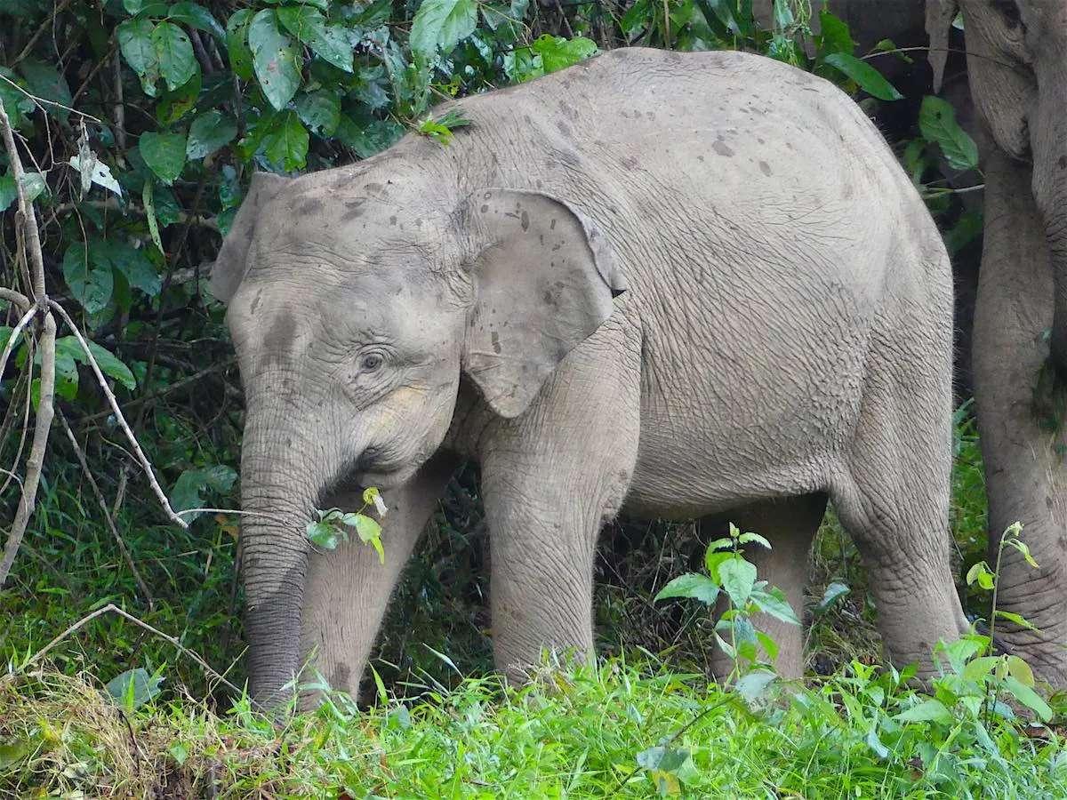 pygmy elephant calf