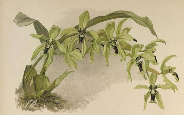 bunga anggrek hitam kalimantan