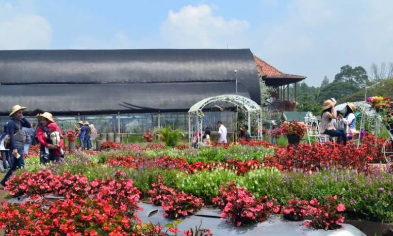 Kebun bunga begonia lembang