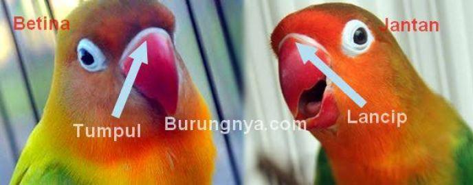 Ragam Jenis dan Cara Ternak Lovebird Mudah Banget!