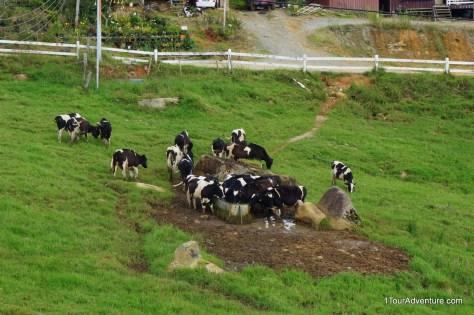 Holstein Friesians
