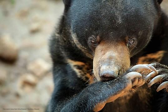 Sun Bear Sabah_Tourism-Clement Liew Ket Hin-PIC_273