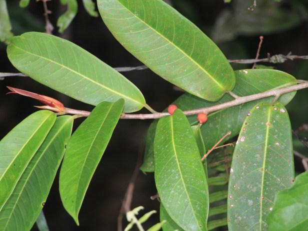 Acamptophylla IMG_8022.JPG
