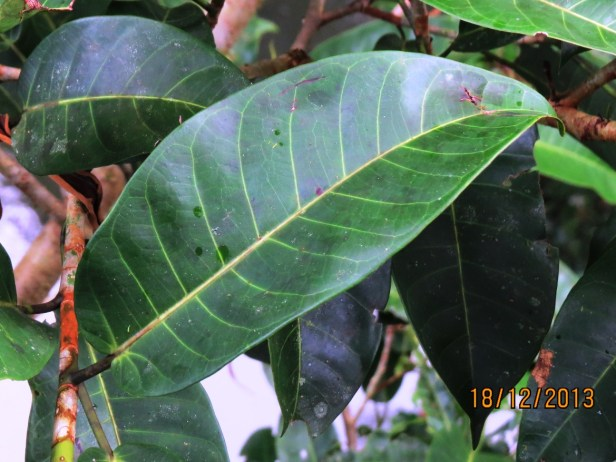 Ficus annulata IMG_4762.JPG
