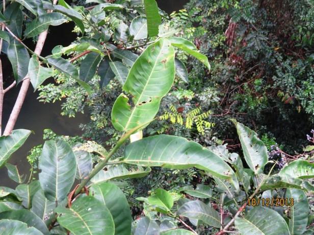 Ficus annulata IMG_4763.JPG
