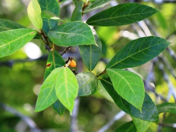 Ficus aurata IMG_2204.JPG