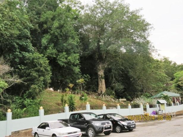Ficus benjamina IMG_0082.JPG