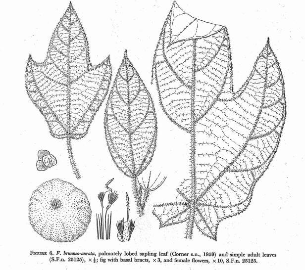 Ficus brunneoaurata.jpg