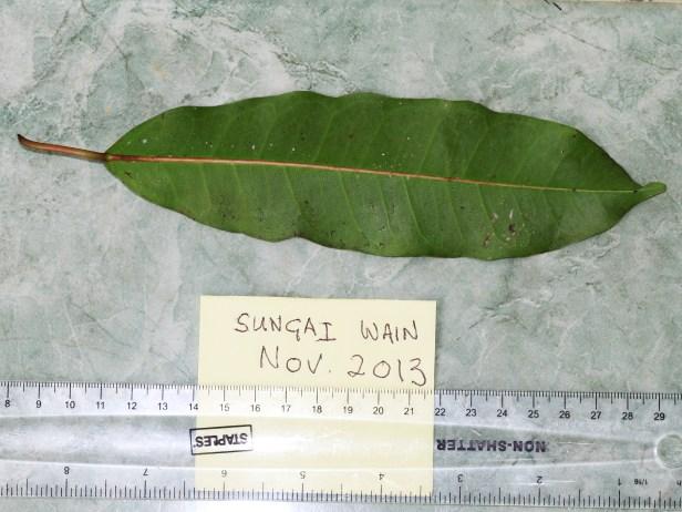 Ficus caulocarpa IMG_7998.JPG
