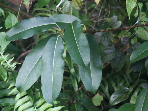 Ficus caulocarpa IMG_8078.JPG