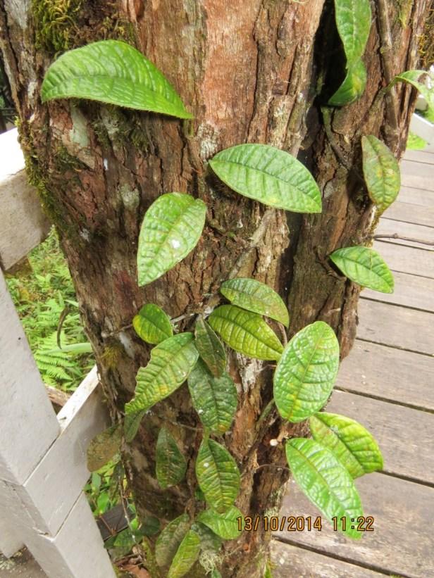 Ficus cavernicola IMG_0305.JPG