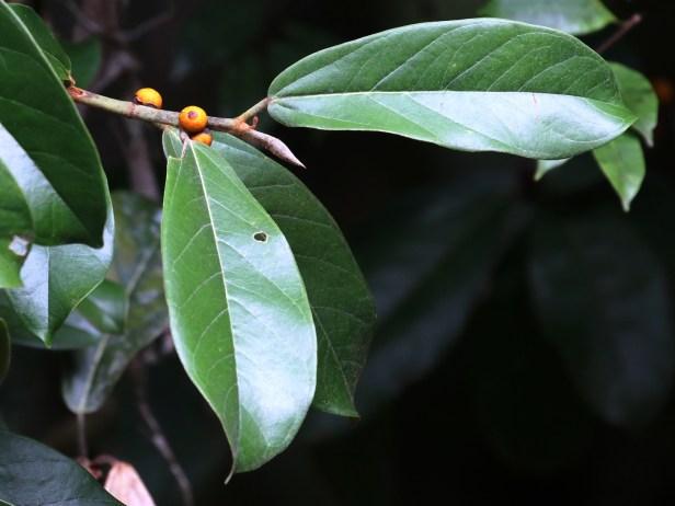 Ficus consociata Ulu Ulu 3P7A4976 - Copy.JPG