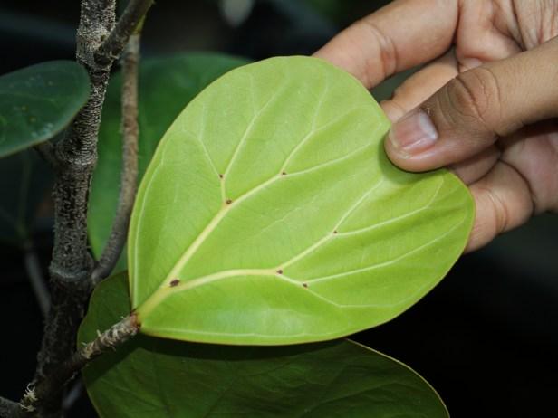 ficus-deltoidea-3p7a1852