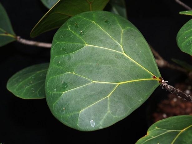 ficus-deltoidea-3p7a1853