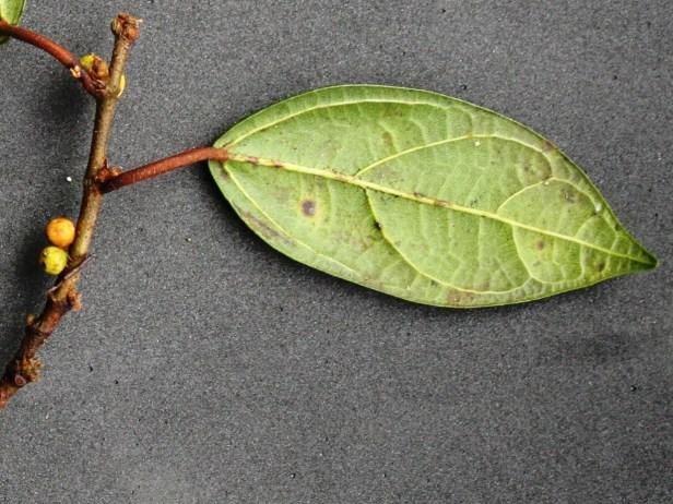 Ficus detonsa IMG_1874 - Copy.JPG