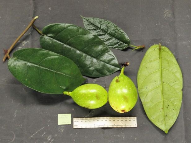 ficus-grandiflora-img_4018