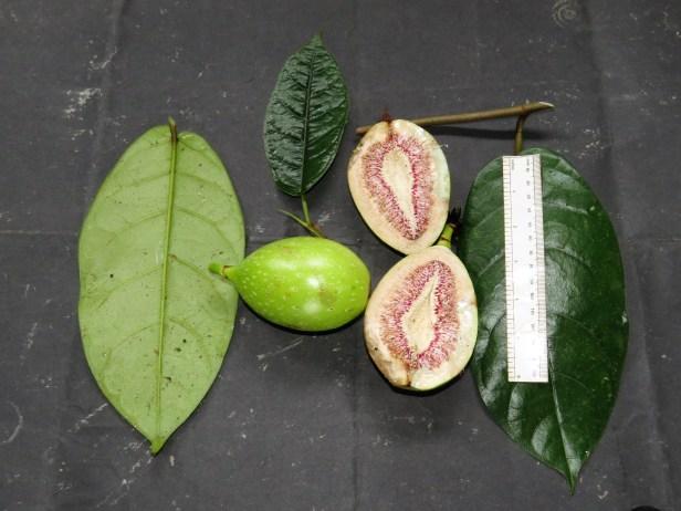 ficus-grandiflora-img_4032