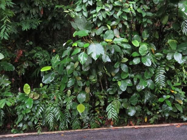 Ficus grossularioides IMG_0880.JPG