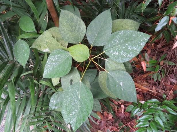 Ficus grossularioides IMG_0916.JPG