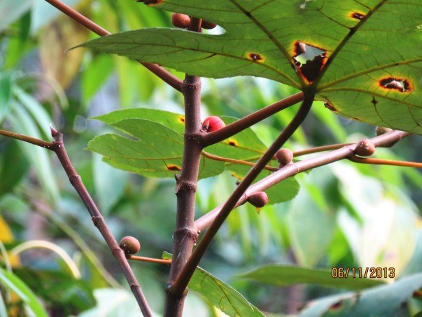 Ficus grossularioides IMG_3975.JPG