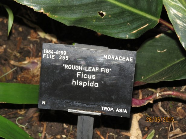 ficus-hispida-kew-june-2015-img_0652