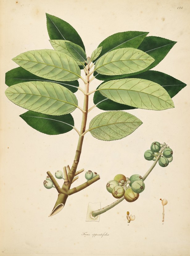 ficus-hispida-roxborough-61335