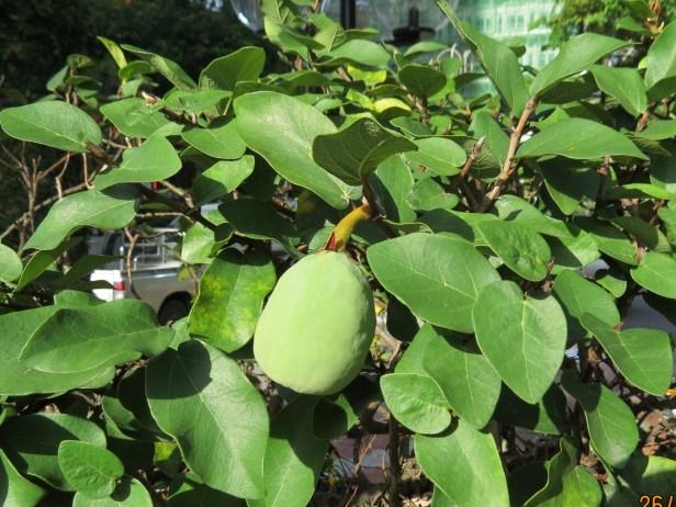 Ficus pumila IMG_0116 - Copy.JPG