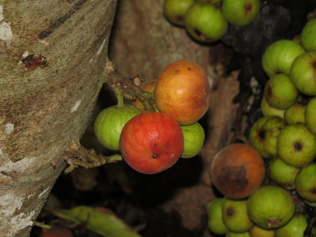 ficus-racemosa-img_1839