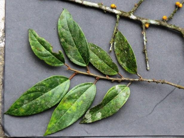 Ficus recurva IMG_3430 JQPF018.JPG